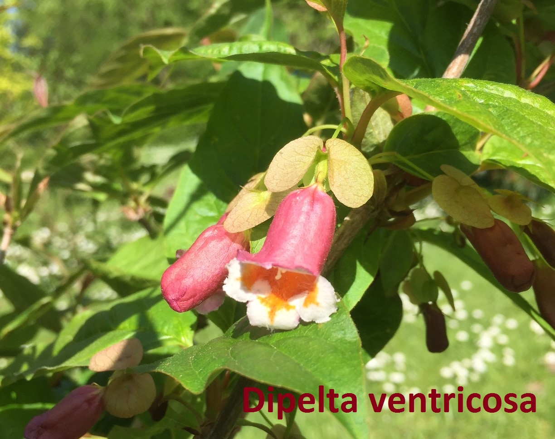 Dipelta ventricosa vak 71