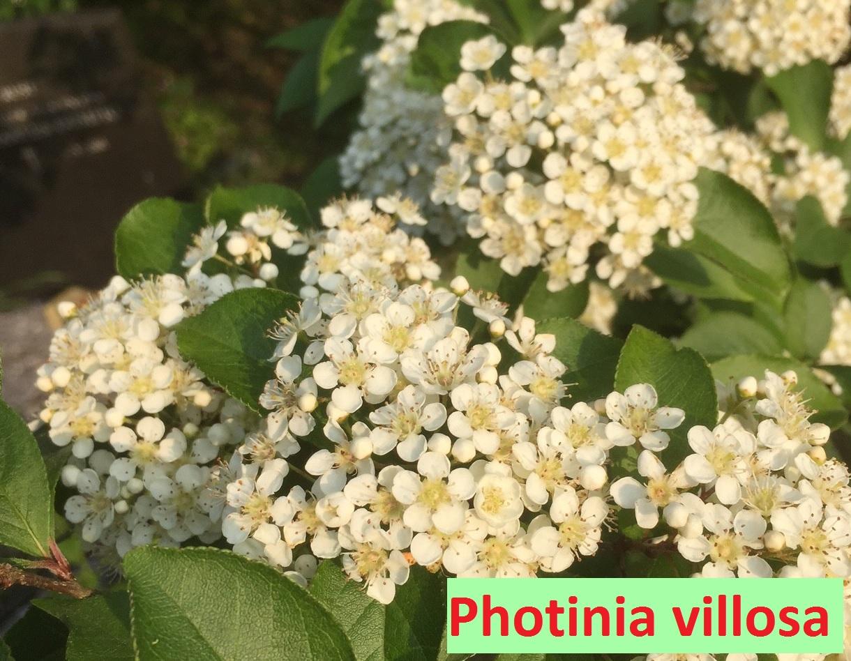 Photinia vilosa