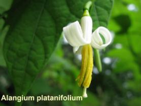 alangium-platani