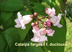 catalpa-fargesii-duclouxii-72-110525i