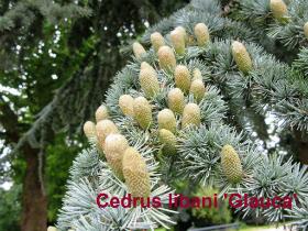 cedrus-libani-glauca-47-090809b