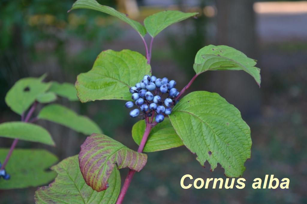 cornus-alba-jpg