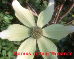 cornus-nuttalii-monarch