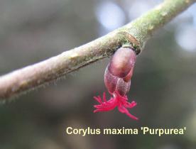 corylus-maxima-purpurea-37-110125b