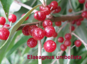 elaeagnus-umbellata-72-090911c