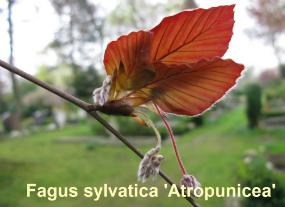 fagus-sylv-atropunicea-20-110414d