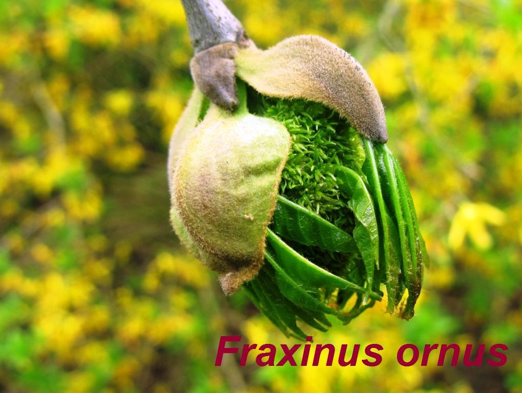 fraxinus-ornus-43-jpg