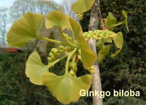 ginkgo-biloba-voorpl-070413c