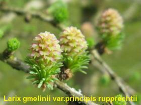 larix-gmelinii-princi-pis-rupp-09-090327b