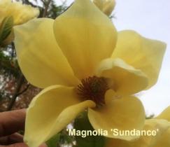 magnolia-sundance