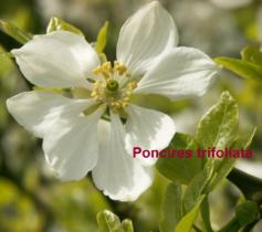 poncires-trifoliata-vak-33