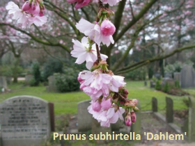 prunus-x-subh-dahlem-62-110317d_0