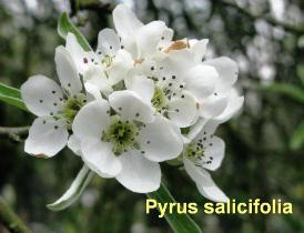 pyrus-salicifolia-pendula-25-110414c
