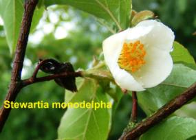 stewartia-26-monodelph-070618d
