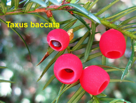taxus-baccata-07-090820c