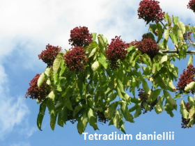 tetradium-daniellii-72-081009a