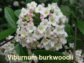 viburnum-burkwoodii-71-090416c
