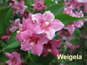 weigelia-54-090516d