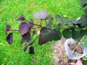 Cercidiphyllum 'RothFuchs'