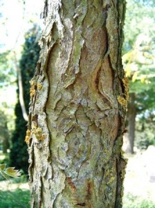 Gymnocladus_dioica