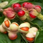 Zaden van Magnolia kobus
