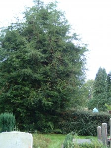 Sequoia  sempervirens vak 1 (1)