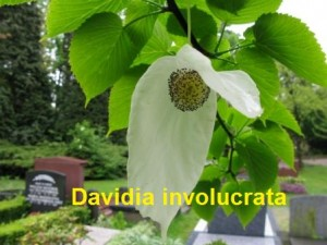 Davidia involucrata 02 100508b
