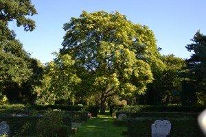 Ailanthus altissima vak 59 (2)