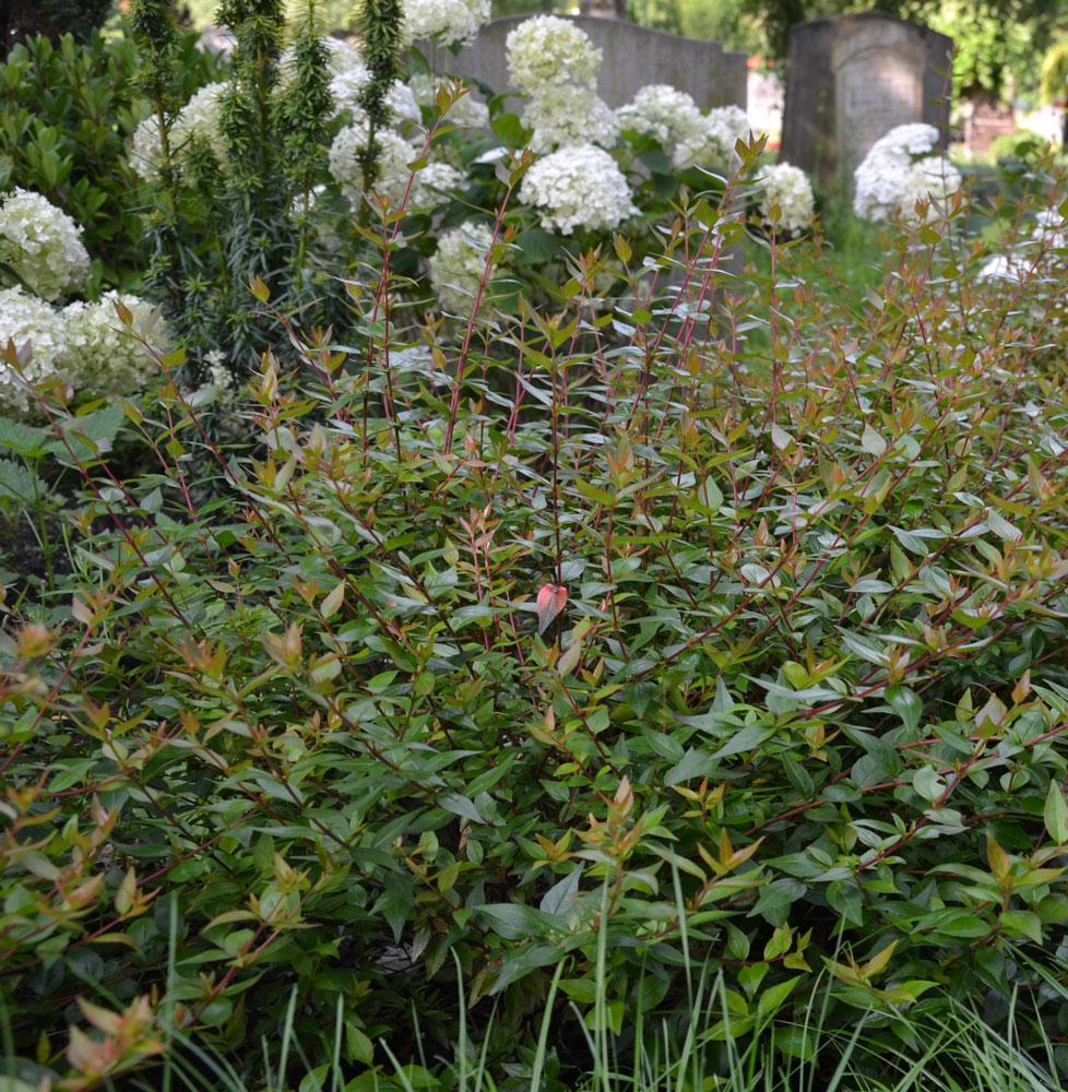 Abelia grandiflorum Edward Gouchier