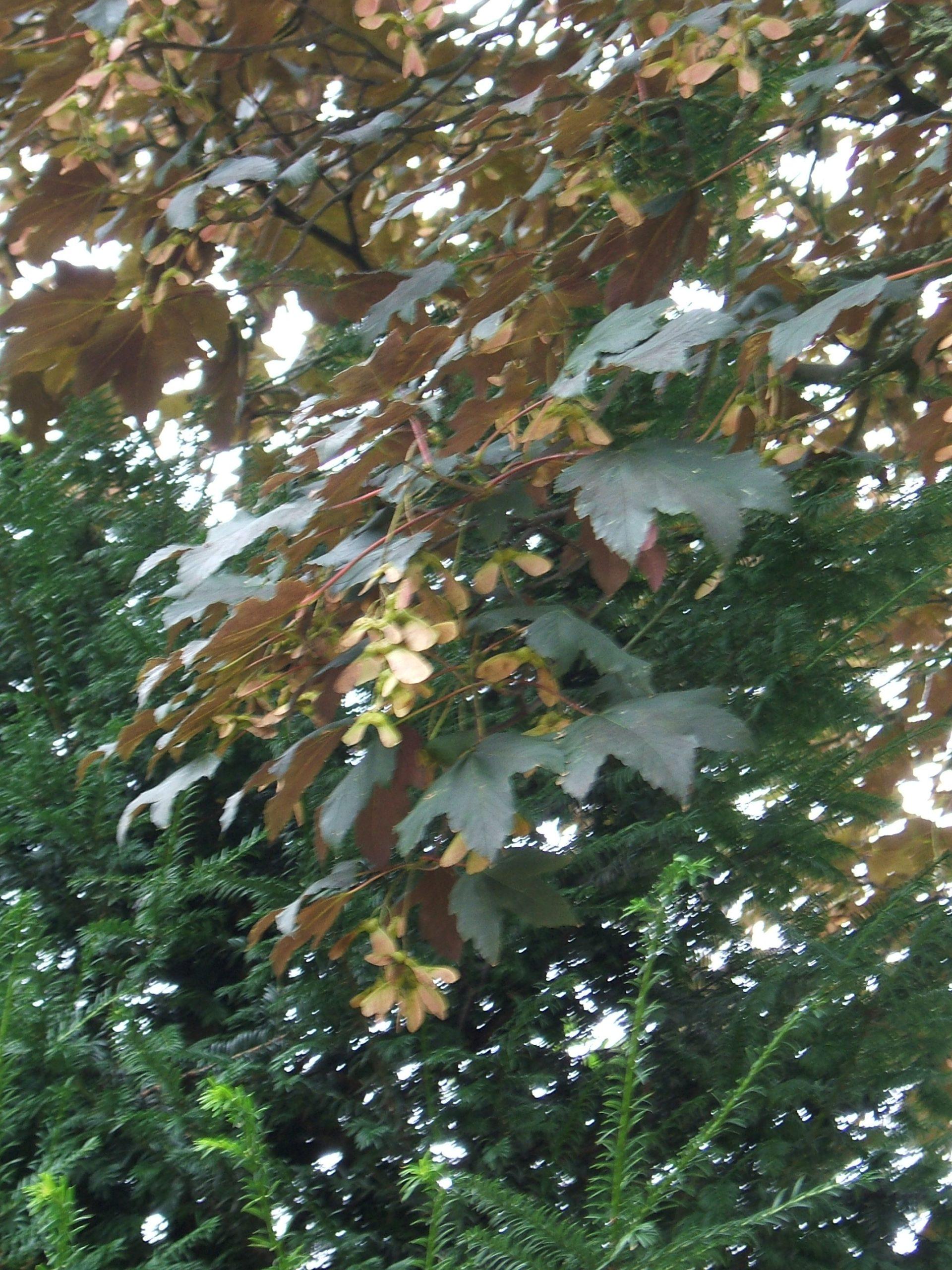 """Acer pseudoplatanus """"Atropurpureum'"""